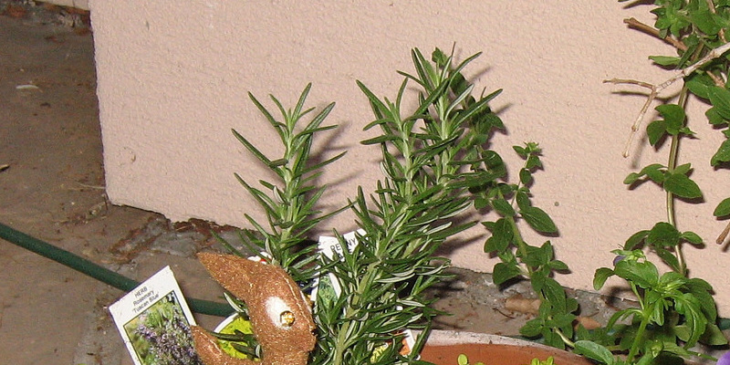 Houseplants: The Way to Care for Bunny Ears